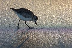 Plover (Edmonton Ken) Tags: shadow bird beach sand purple florida fringe backlit plover fringing