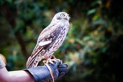220A5765 (Andrew Arch) Tags: au australia healesvillesanctuary victoria barkingowl badgercreek