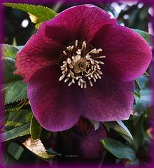 Helleborus (Lenzrose) (Karabelso) Tags: red flower rot garden purple blossom panasonic blume blüte garten dmc violett gx7