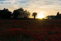 DSC04620 (wheelsy1) Tags: walking derbyshire poppy chesterfield sheepbridge poppyfield unstone richardwiles