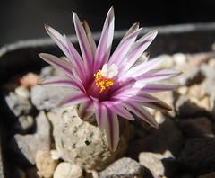 Turbinicarpus valdezianus (Resenter89) Tags: cactus flower cacti mix grasse desert soil mineral cactaceae piante kakteen succulente turbinicarpus cactacee valdezianus