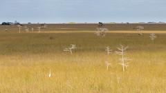 IMG_9995 ENP (JRCmoreno) Tags: winter grass florida swamp everglades evergladesnationalpark egret sabana whitetrees