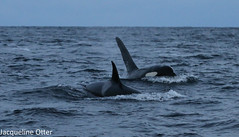 orcas (jacqy85) Tags: norway wildlife dolphins whales orcas killerwhales andenes noorwegen cetacean orka spekhoggere