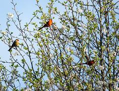 tree full or cardinals (long.fanger) Tags: cardinal bradfordpear