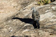 Namaqua Dove, Clocolan, Dec 2015 (roelofvdb) Tags: december place dove year date 356 2015 clocolan namaquadove southernafricanbirds dovenamaqua