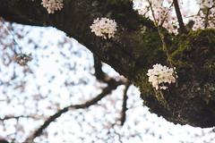 IMG_9489 (elenafrancesz) Tags: uw cherry blossoms wordless