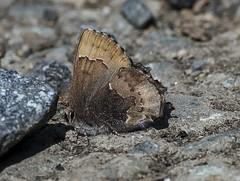 Henry's Elfin & Rock (Odonata457) Tags: county anne unitedstates maryland research arundel henrys elfin patuxent refuge odenton callophryshenrici