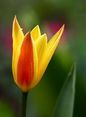 Just A Single Tulip (AnyMotion) Tags: flowers red plants macro rot primavera nature floral colors yellow garden petals spring colours blossom frankfurt natur pflanzen blumen gelb tulip makro blte garten printemps bltenbltter tulipa farben frhling tulpe 2016 makroaufnahmen anymotion 7d2 canoneos7dmarkii
