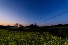 Rape blossoms at dusk (kurumaebi) Tags: sunset nature landscape nikon dusk d750 yamaguchi 菜の花 秋穂 山口市