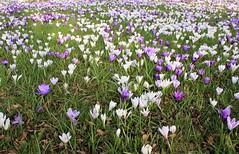 Sheffield (redshoesd) Tags: flowers gardens sheffield crocus botanicalgardens southyorkshire