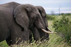 Elephant, Kruger National Park, Safari Day 4, South Africa (ARNAUD_Z_VOYAGE) Tags: africa park white game nature landscape african wildlife south capital central lion reserve unesco national zimbabwe region department rhinoceros mozambique mpumalanga kruger limpopo skukuza zululand gonarezhou
