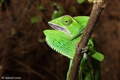 Camaleonte _003 (Rolando CRINITI) Tags: santalessio camaleonte rettile