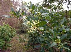 Pittosporum truncatum E. Pritz. 1900 (PITTOSPORACEAE) (helicongus) Tags: spain pittosporum pittosporaceae pittosporumtruncatum jardnbotnicodeiturraran