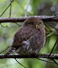Northern Pygmy-Owl (cobalt_creek) Tags: canon raptor owl wa pnw birdsofprey northernpygmyowl glaucidiumgnoma birdsofwashingtonstate washingtonstatewildlife wawildlife canon5dmarkiii owlsofthepacificnorthwest owlsofwashingtonstate birdinginwa birdinginthepacificnorthwest wildlifeofthepacificnorthwest greghensen owlsofwa owlsofthepnw