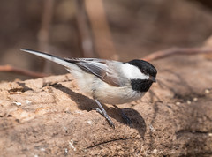 Black-capped Chickadee (Laura Erickson) Tags: minnesota birds places species duluth blackcappedchickadee stlouiscounty poecileatricapillus passeriformes parusatricapillus paridae peabodystreet