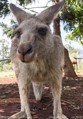 Hello, it's me (_altaria01669_) Tags: park zoo reptile australia kangaroo qld queensland aussie aus snakes downunder selfie oceania canguro
