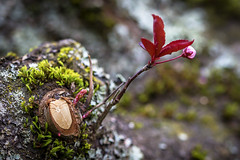 Ambition (Paul Rioux) Tags: nature outdoors frontyard tree spring flower foliage canon 6d 100mmf28usm dof plumblossoms