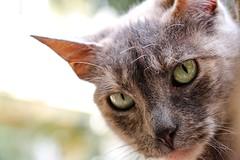 Stray cat. Valparaiso, Chile. (RViana) Tags: feline fluffy cuteness straycat gatoderua gatocallejero streunendekatze chatgar verdwaaldekat filhotecat puppycub