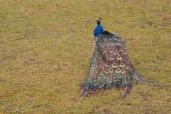 Peacock's back (Hundra Kontrast) Tags: blue bird colors gteborg back colours gothenburg feathers peacock bl fgel pfgel rygg fjdrar