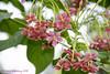 Combretum indicum / Madhumalti (Nikhil Adhikary) Tags: chinese honeysuckle creeper rangoon madhu indicum combretum malti niyogniyogan