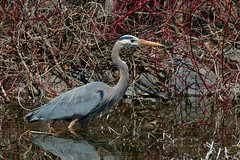 Panasonic FZ1000, Great Blue Heron, Botanical Gardens, Montral, 17 April 2016 (9) (proacguy1) Tags: montral botanicalgardens greatblueheron panasonicfz1000 17april2016
