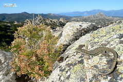 Thyrrhenian Wall Lizard (Nicola Destefano) Tags: sea france animal reptile wildlife corsica fulllength nobody environment basking oneanimal endemism podarcistiliguerta lucertolatirrenica thyrrhenianwalllizard