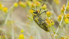 319A4157 Sulphurous jewel beetle - Julodis euphratica, UAE (Priscilla van Andel (Uploading database)) Tags: uae buprestidae julodis julodiseuphratica sulphurousjewelbeetle