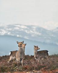 Sika Deer (Gavin MacRae) Tags: nature mammal scotland nikon wildlife deer lochness abriachan sika scottishwildlife cervusnippon highlandsofscotland scottishnature scottishhills woodlandwildlife sikahind highlandwildlife sikacalf highlandnature sikahighlands