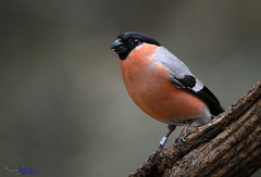 Bullfinch (M) (spw6156 - Over 4,952,000 Views) Tags: light copyright steve m iso bullfinch waterhouse 400poor