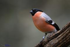 Bullfinch (M) (spw6156 - Over 4,985,045 Views) Tags: light copyright steve m iso bullfinch waterhouse 400poor