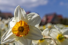 Holland - Narcissus Daffodil 2016-5 (robdeheer) Tags: flowers sun holland canon spring nederland thenetherlands explore daffodil paysbas zon bloemen narcis niederlande tegenlicht narcissen voorjaar bulbfields frhjahr hollanda frhlingszeit narcissusdaffodil updatecollection canon7dnoordholland
