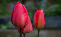 Tulips flowering (williams19031967) Tags: summer plant flower macro field magazine garden spring nikon close tulips outdoor ngc scenic national tulip dslr depth geographic delights d7100 beyondbokeh d7200