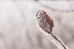 Sumac under ice (laurencharman) Tags: winter snow ice nature hamilton sumac fade dundas wildfood foraging