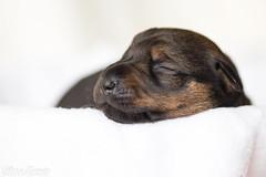 Akamaru (Maria Zielonka) Tags: dog dogs puppy photography mix puppies fotografie shepherd maria indoor hund german doberman hunde mischling deutscher welpe schferhund dobermann welpen zielonka