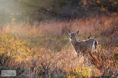 Sunlit Deer (ransomtech) Tags: morning sun deer mendonponds