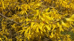 Yellow and Red (rocknrolltheke) Tags: red plant rot yellow blossoms pflanze gelb forsythia ladybug forsythe blten marienkfer forsythie