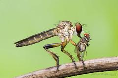 robberfly with prey (zaidirazak) Tags: macro nature closeup insect wildlife malaysia asilidae zaidirazak
