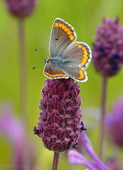 Morado (Maite Mojica) Tags: flores primavera flor lepidoptera campo mariposa insecto lycaenidae lavandula lepidóptero aricia stoechas cramera artrópodo cantueso licénido