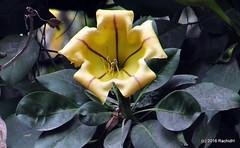 DSC_0486 (rachidH) Tags: flowers nepal nature vines lily blossoms kathmandu blooms solandramaxima chalicevine cupofgoldvine hawaiianlily goldenchalicevine rachidh solandragante