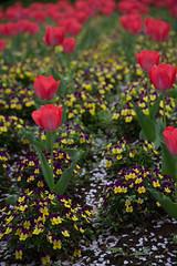 (Norio.NAKAYAMA) Tags: flower japan pansy tulip  cherryblossom  saitama  omiya    flowerpark