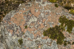 Lichens, Alt Mor, Tummel Bridge. April 2016 (Gordon Haws) Tags: forest scotland highlands perthshire lichens pitlochry perthandkinross tummelbridge pitlochrydam lochfascally altmor scottishspring tumblevalley
