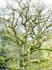 Eiche (redstarpictures) Tags: winter tree green nature germany deutschland oak natur grn baum moos eiche