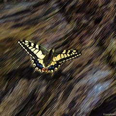Er sa auf... (novofotoo) Tags: salzburg tiere sterreich natur insekten schmetterling composing digitalimaging schwalbenschwanz papiliomachaon golling ritterfalter fotoeigenschaften