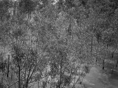 saplings, shallow water, Mississippi River, New Orleans, Louisiana, Fujifilm X10, 4.18.16 (steve aimone) Tags: blackandwhite monochrome river mississippi landscape fuji mississippiriver emerging saplings shallows shallowwater fufjifilm fujifilmx10 fujix10