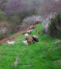 Jour de pluie (Grand-Papp, charrette...) Tags: goats auvergne cabras chvre massifcentral chevreaux hauteloire margeride chabre hautesterres marjarida chabrit