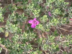 Leucophyllum frutescens als Zierpflanze auf einem Parkplatz , NGIDn1636554271 (naturgucker.de) Tags: yuccavalley naturguckerde cdieterschneider ngidn1636554271