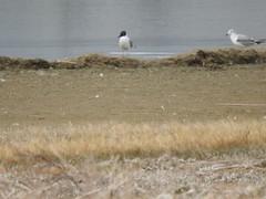 Bonaparte's Gulls (warbler38) Tags: nikon gulls co bonapartes p610