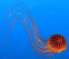 jellyfish 1 (lisafree54) Tags: ocean blue sea orange black nature water animal swimming marine jellyfish stripes wildlife free medusa graceful tentacles cco cnidarian curving coelenterate freephotos