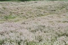 I dream of pink (Laura Marianne) Tags: film nature analog heath moorland expiredfilm pentaxme