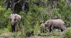 Elephants (little_duckie) Tags: africa southafrica buffalo zebra cheetah giraffe impala hyena rhinoceros krugernationalpark kruger gamedrive kudu bushbuck